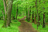 Path leads through deciduous forest, Albtrauf, Swabian Alb, Baden-Württemberg, Germany