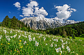 Daffodil meadow with grimming, Grimming, Dachstein Mountains, Upper Austria, Austria