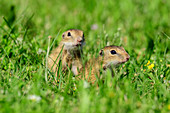 Two young ground squirrels, Spermophilus, Neusiedler See, National Park Neusiedler See, UNESCO World Heritage Neusiedler See, Burgenland, Austria
