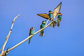 Bee-eater loads on branch at others, Merops apiaster, Lake Neusiedl, Lake Neusiedl National Park, UNESCO World Heritage Lake Neusiedl, Burgenland, Austria