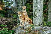 Two lynxes look at viewer, Lynx, Bavarian Forest National Park, Bavarian Forest, Lower Bavaria, Bavaria, Germany