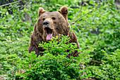 Braunbär gähnt, Ursus arctos, Nationalpark Bayerischer Wald, Bayerischer Wald, Niederbayern, Bayern, Deutschland