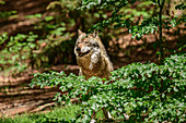 Wolf looks interested, Canis lupus, Bavarian Forest National Park, Bavarian Forest, Lower Bavaria, Bavaria, Germany