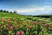 Blooming alpine roses with Hubertus chapel, Zillertal high road, Zillertal, Tux Alps, Tyrol, Austria