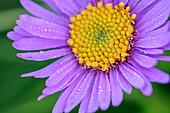 Purple flower of a mountain aster, Aster amellus, Vette Grandi, Rifugio Dal Piaz, Feltre, Bellunesian National Park, Dolomites, Dolomites, UNESCO World Heritage Dolomites, Veneto, Italy
