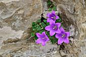Endemic bellflower grows from crevice, Campanula morettiana, Bellunesian Dolomites National Park, Dolomites, UNESCO World Heritage Dolomites, Veneto, Italy