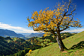 Maple in autumn leaves with Inntal in the background, Wandberg, Chiemgau Alps, Tyrol, Austria