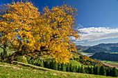 Ahorn im Herbstlaub mit Chiemgauer Alpen im Hintergrund, Wandberg, Chiemgauer Alpen, Tirol, Österreich