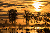 Flying cranes and wild geese at their sleeping place in a pond with sunrise, red sky and red water reflection, Germany, Brandenburg, Neuruppin