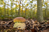 Small, closed boletus in the deciduous forest of Buchenhain from a low angle perspective, Germany, Brandenburg, Spreewald