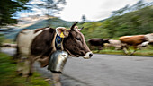 Cows run in the herd with cowbells from the mountains over streets and passes, Germany, Bavaria, Oberallgäu, Oberstdorf