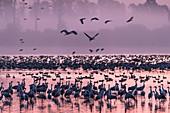 Kraniche und Wildgänse im Gegenlicht der aufgehenden Sonne, an ihrem Schlafplatz in einem Teich mit rosafarbenen Himmel und rosafarbenen Wasserspiegelung, Deutschland, Brandenburg, Neuruppin