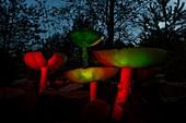 Bei Nacht leuchtende Schirmpilze im Mischwald aus der Froschperspektive, Deutschland, Brandenburg, Spreewald