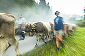 Shepherds and cows with cowbells run in the herd on forested roads in the mountains. Germany, Bavaria, Oberallgäu, Oberstdorf