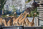 France, Paris, Paris Zoological Park (Zoo de Vincennes), the group of sixteen giraffes (Giraffa camelopardalis) in the Sahel-Sudan biozone, in the background the Grand Rock that is the landmark of the zoo since 1934