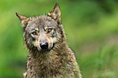 France, Hautes-Pyrenees, Argeles-Gazost, wolve (canis lupus) in Pyrenees animal Park