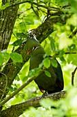 France, Maine et Loire, Doue La Fontaine, Bioparc zoo, Livingstone's Turaco (Tauraco livingstonii)