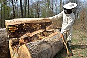 France, Haute Saone, swarm of bees on their forest recovered from the trunk of oak felled by timber and transferred by a beekeeper in a hive brood
