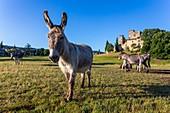 Frankreich, Vaucluse, Lourmarin, ausgezeichnet mit 'Les Plus Beaux Villages de France' (die schönsten Dörfer Frankreichs), Schloss 15. und 16. Jahrhundert, klassifiziert als historisches Denkmal, Esel der Provence