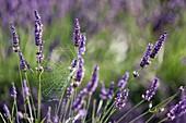 France, Alpes de Haute Provence, Parc Naturel Regional du Verdon (Regional natural park of Verdon), Puimoisson, cobweb in lavenders on the plateau of Valensole