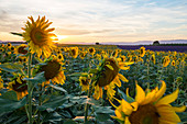 Frankreich, Alpes de Haute Provence, regionaler Naturpark du Verdon (regionaler Naturpark von Verdon), Hochebene von Valensole, Feld von Sonnenblumen in der Blume