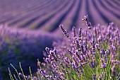 France, Alpes de Haute Provence, Parc Naturel Regional du Verdon (Regional natural park of Verdon), plateau of Valensole, a bee foraging a flower of lavender