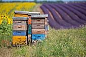 Frankreich, Alpes de Haute Provence, regionaler Naturpark du Verdon, Hochebene von Valensole, Bienen, die um Bienenstöcke nahe einem Feld von Sonnenblumen und von Lavendel fliegen