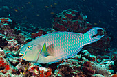 Indian Humpback Parrotfish, Scarus strongylocephalus, North Male Atoll, Indian Ocean, Maldives