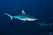 Gray reef sharks, Carcharhinus amblyrhynchos, Felidhu Atoll, Indian Ocean, Maldives