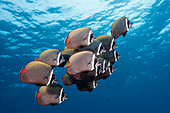 Shoal of collared butterflyfish, Chaetodon collare, Felidhu Atoll, Indian Ocean, Maldives