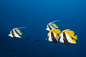 Masked bannerfish and schooling bannerfish, Heniochus monoceros, South Male Atoll, Indian Ocean, Maldives