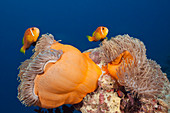 Maldives clownfish, Amphiprion nigripes, South Male Atoll, Indian Ocean, Maldives