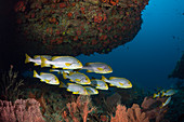 Shoal of oriental sweet lips, Plectorhinchus vittatus, Ari Atoll, Indian Ocean, Maldives