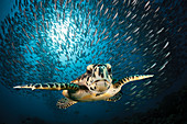 Hawksbill turtle, Eretmochelys imbricata, South Male Atoll, Indian Ocean, Maldives