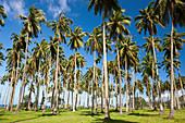 Palm trees on the south coast of Tahiti, Tahiti, French Polynesia