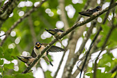 Young barn swallows sit on a branch and beg for food, Germany, Bavaria, Allgäu