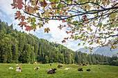 Allgäu cows with cowbells are lying down in a meadow, Germany, Bavaria, Allgäu