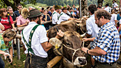 Cows are separated from their farmers at the Scheidplatz of the annual Oberstdorfer Viehscheid, Germany, Bavaria, Allgäu