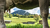 Allgäu cow pasture with a view of dairy cows and the Alpine foothills from a Frsoch perspective
