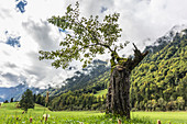 Old tree, new shoots, broken by lightning, standing alone in a meadow in front of a mountain backdrop with dramatic cloud formations in the sky. Germany, Bavaria, Oberallgäu