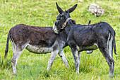 Donkey on a meadow in the Allgäu Alps, Germany, Bavaria, Allgäu
