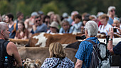 A herd of cows is expected and accompanied by a crowd at Viehscheid Oberstdorf