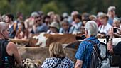 Kuhherde wird auf dem Viehscheid Oberstdorf von einer Menschansammlung erwartet und begleitet