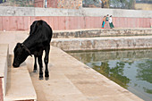 2015, Holy cow at Pavan Sarovar Nandgoan / Nandagram, Vrindavan, Uttar Pradesh, India, holy seaside resort in the place of Krishna