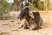 2019, Govardhan, Vrindavan, Uttar Pradesh, India, cow on the pilgrimage route around the sacred mountain Govardhan