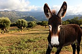Donkey at Muro in Balagne, Northern Corsica, France