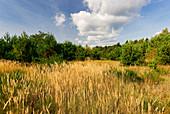 Heidelandschaft bei Jueterbog im Fläming, Land Brandenburg, Deutschland