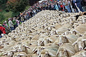 Flock of sheep between tourists, Rothenburg ob der Tauber, Bavaria