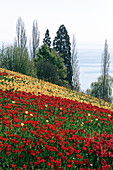 Frühlingsallee während der Tulpenblüte, Insel Mainau, Bodensee, Baden-Württemberg, Deutschland