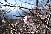 Almond blossom on La Palma, Canary Islands, Spain, Europe